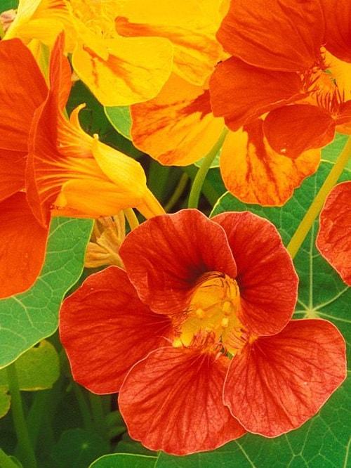 nasturtsiya-vyrashhivanie-iz-semyan-kogda-sazhat Настурция: фото, как выглядят сорта и виды настурции, как выращивать цветы и их применение