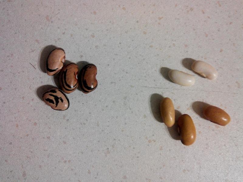 семена фасоли картинки кутуньо