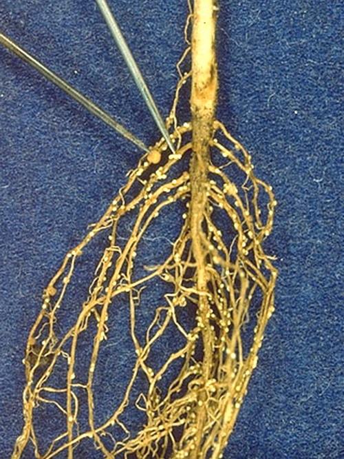 Нематоды – паразиты растений в открытом грунте