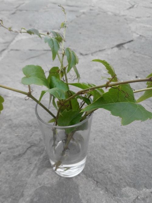 Плющ обыкновенный садовый посадка и уход