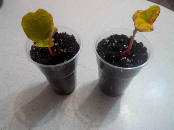 клещевина выращивание из семян дома