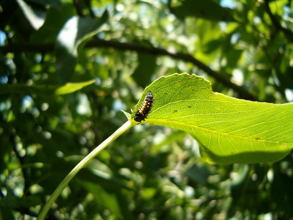 энтомофаги медяницы