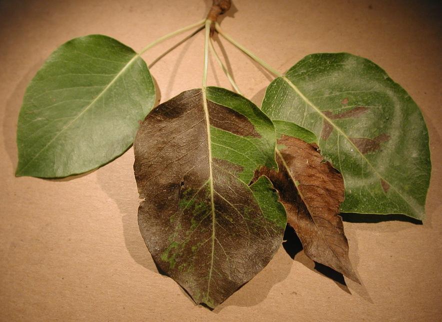 поражения листиков от грушевой медяницы