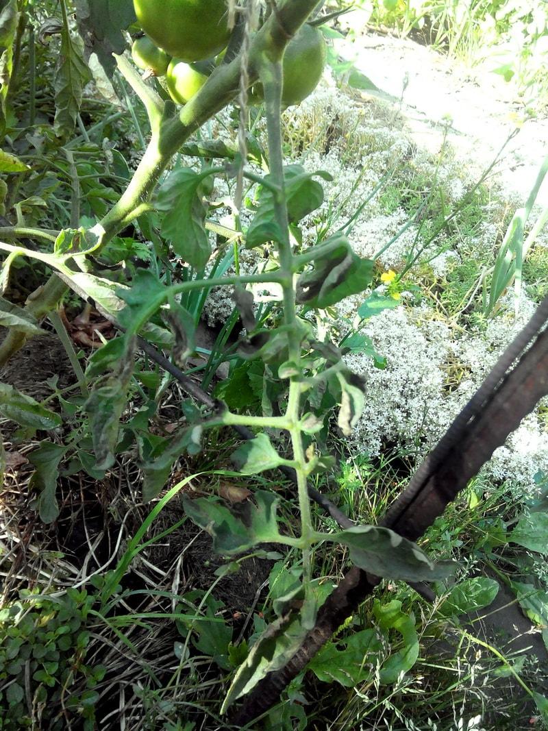 комплексная защита томатов от фитофтороза