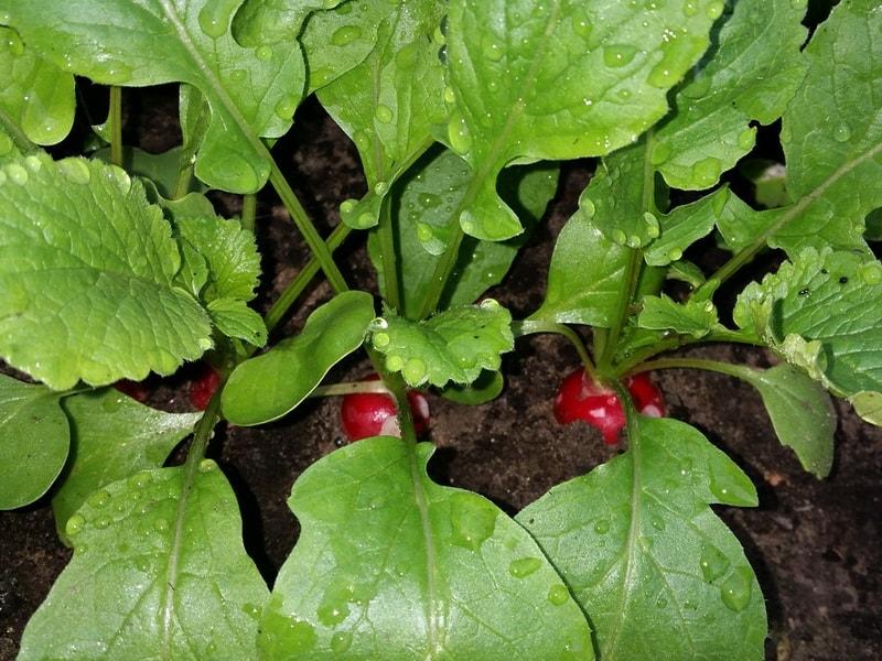редис для летнего посева