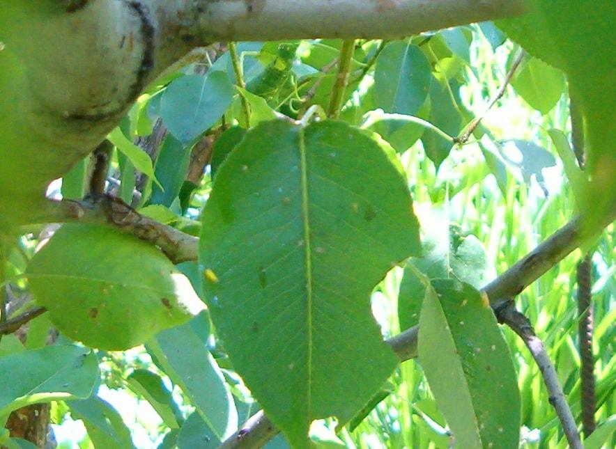 с листьев груши капает сладкий сок