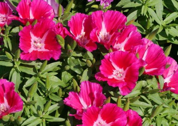 садовый цветок годеция