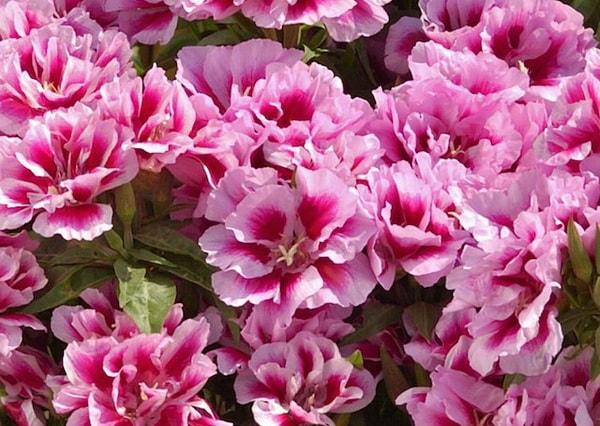 цветы однолетники годеция