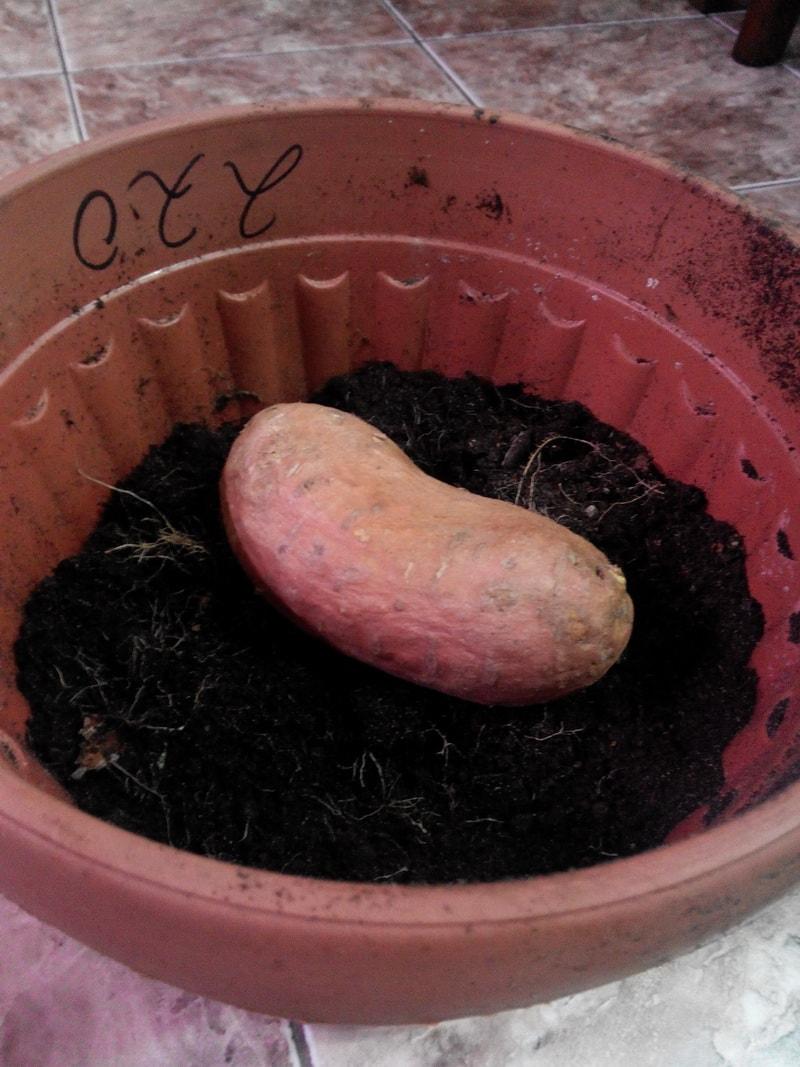 выращивание рассады батата