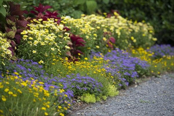 агератум фото цветов в клумбе