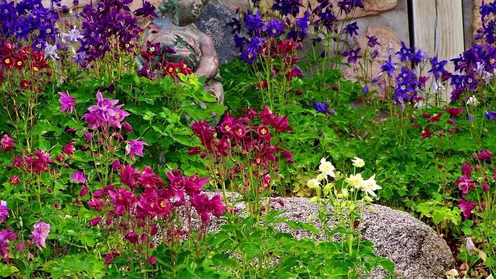 садовые цветы аквилегия ландшафтный дизайн