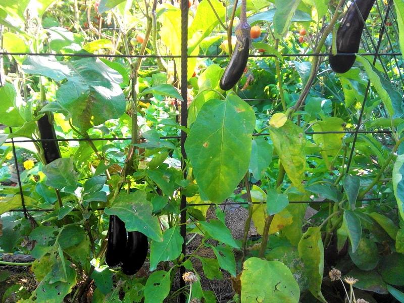 баклажаны агротехника выращивания