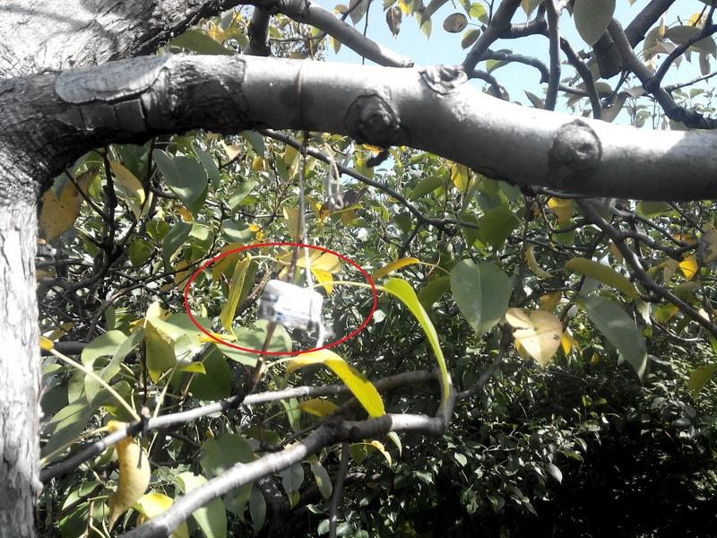 обработка яблонь от плодожорки
