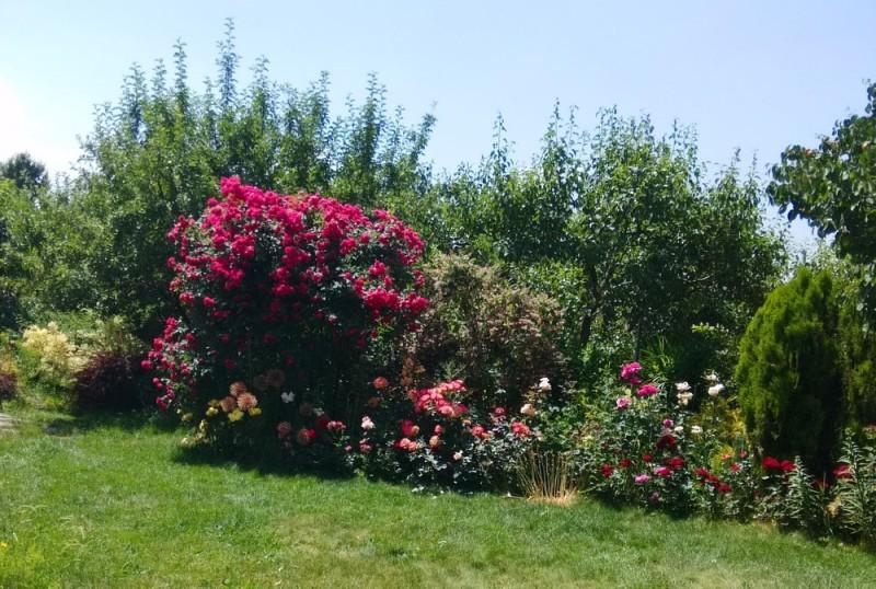 как подготовить розы к зимовке