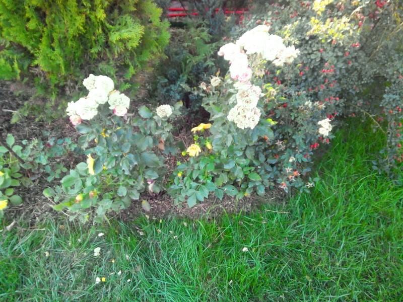 подготовка садовых роз к зиме