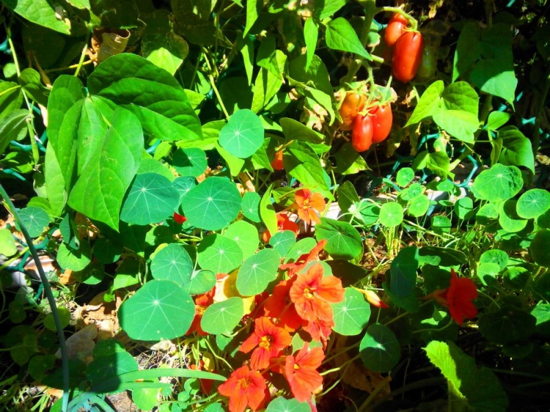растения инсектициды