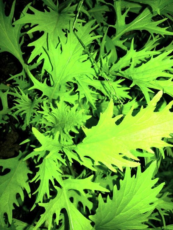 Японская капуста мизуна - удивительно вкусная салатная зелень
