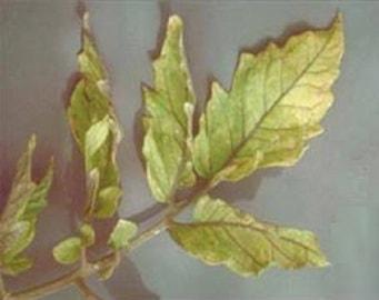 хлороз листьев из-за недостатка серы