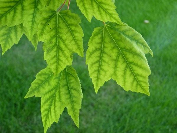 хлороз растений лечение