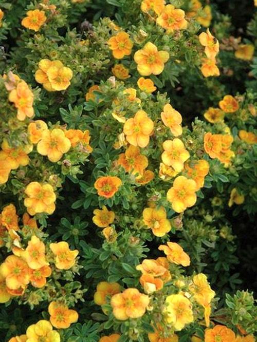 Декоративный вид лапчатка желтая