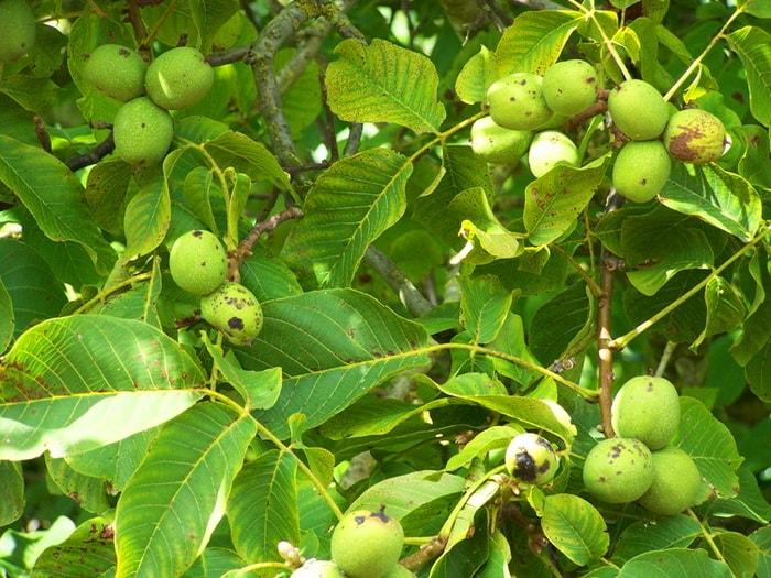 посадка грецкого ореха из плода