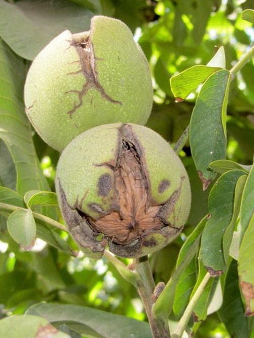 Посадка ореха из плода. Как правильно вырастить грецкий орех: советы новичкам. Самый простой способ получить красивую лужайку перед домом