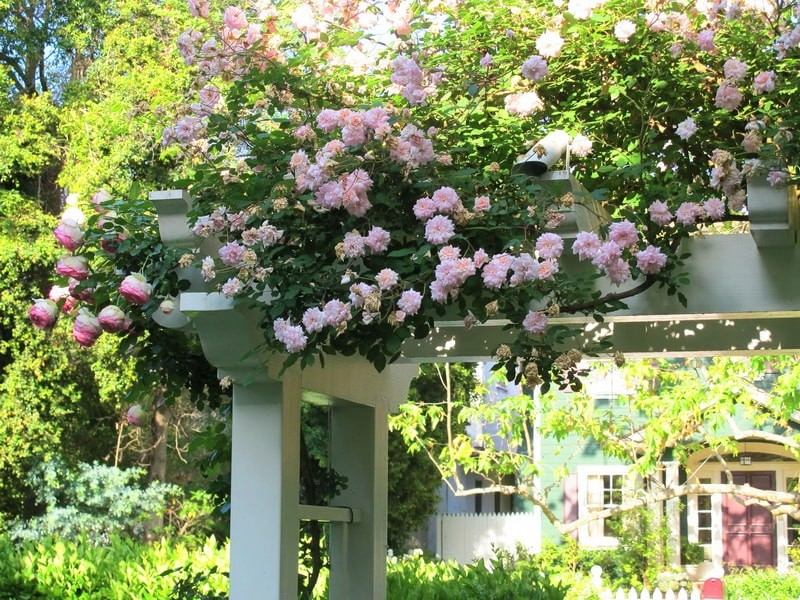 роза клайминг Cecile Brunner