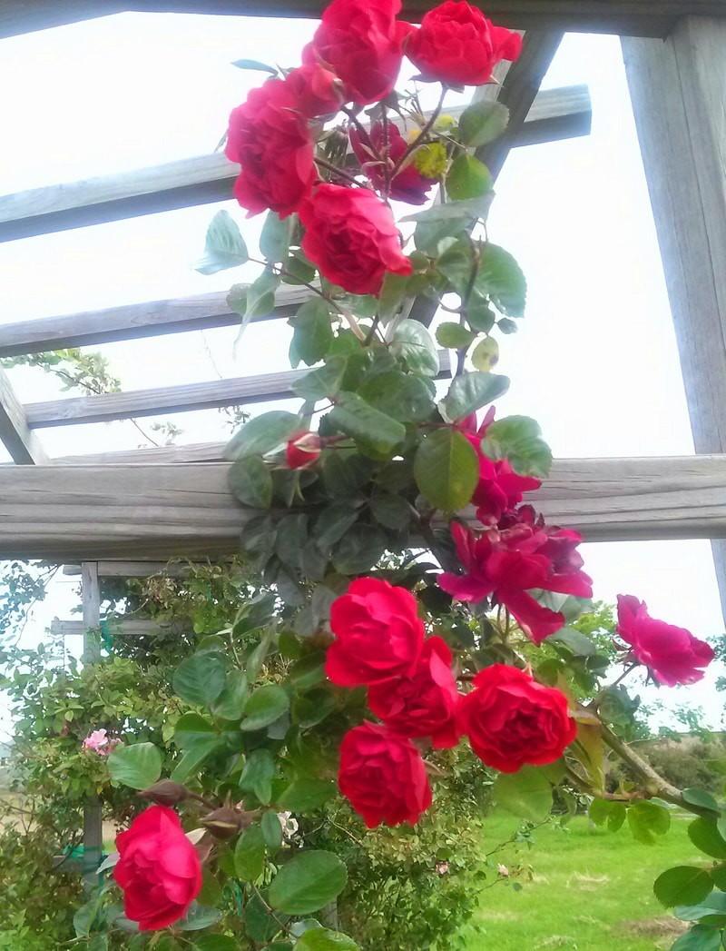 роза плетистая клайминг Orange Triumph