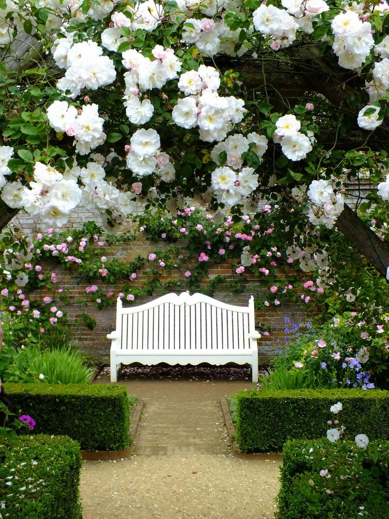 роза плетистая клайминг описание