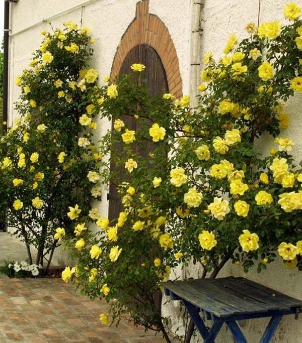 плетистая роза клаймбер голден шауэ