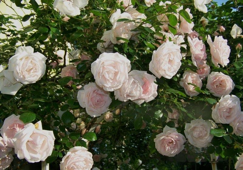 плетистые розы клаймберы Нью Доун