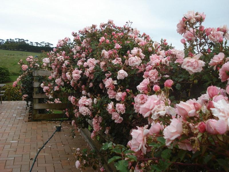 плетистая роза клаймбер компасьон
