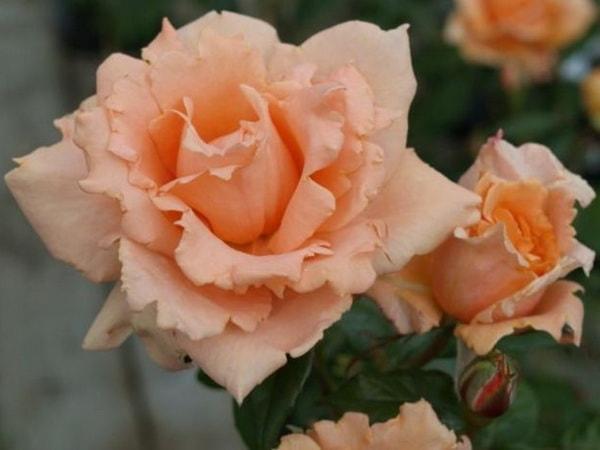 плетистые розы клаймберы бриз оф лайф