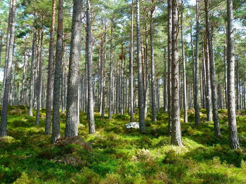 фитонциды хвойных деревьев
