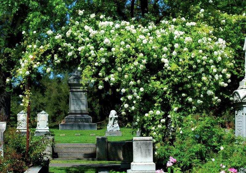 розы клаймберы фото