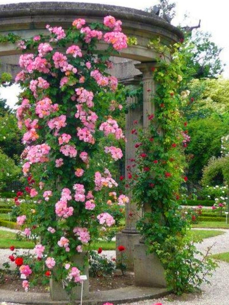 Плетущиеся розы в саду фото