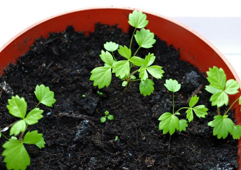 Как сажать землянику семенами на рассаду 90