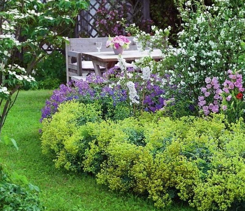 манжетка мягкая (фото и описание растения)