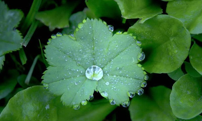 растение манжетка фото