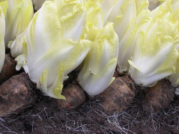 цикорий салатный выращивание