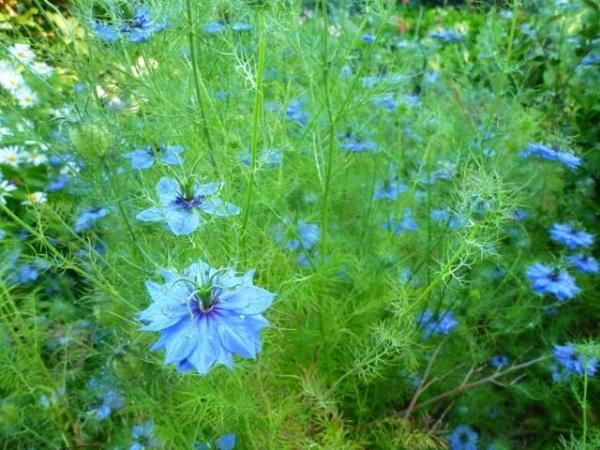 цветок нигелла фото и правила выращивания