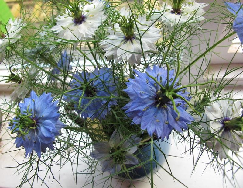 цветы нигелла посадка и уход фото