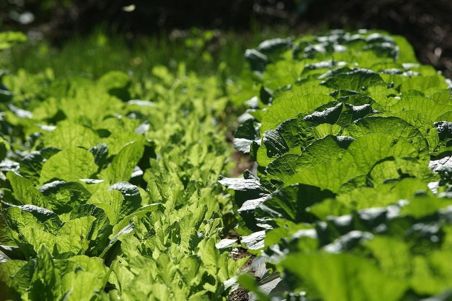 вырастить пекинскую капусту на даче