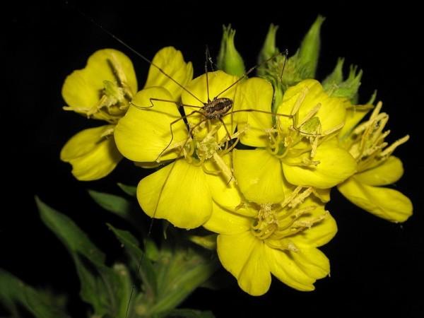 цветок энотера фото