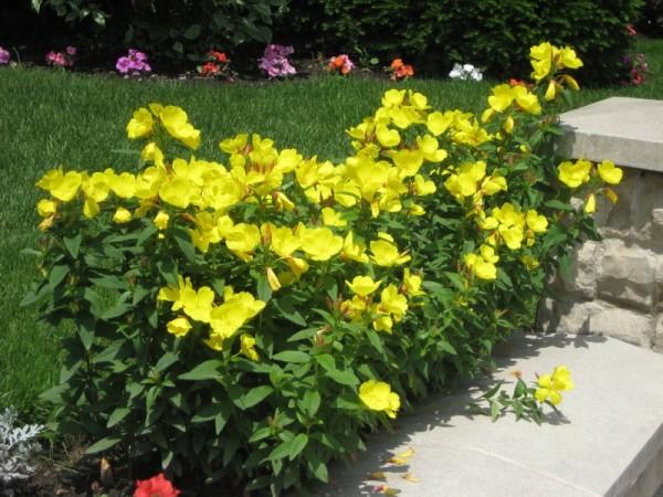 цветы энотера желтая
