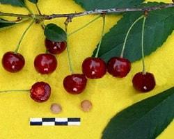 вишня гриот московский описание сорта фото отзывы