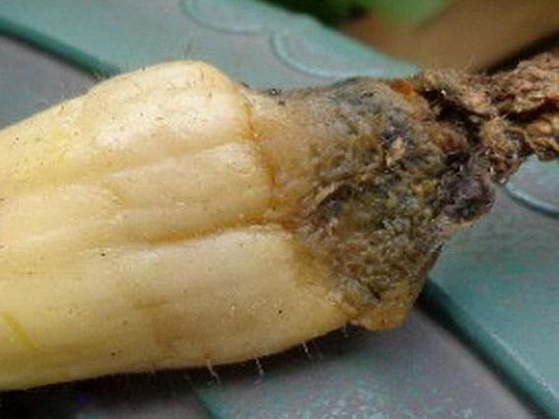 Самые распространенные болезни кабачков