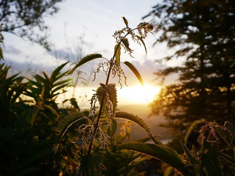 крапива полезная трава, которую надо собирать в мае