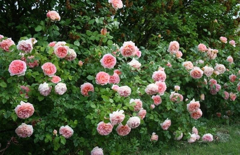 роза шраб абрахам дерби