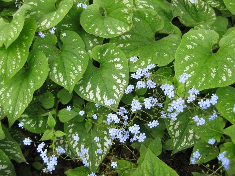 бруннера для выращивания в тенистом саду